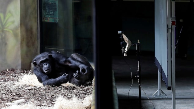 Chimps from two Czech zoos are Zooming each other every day - Czech Points