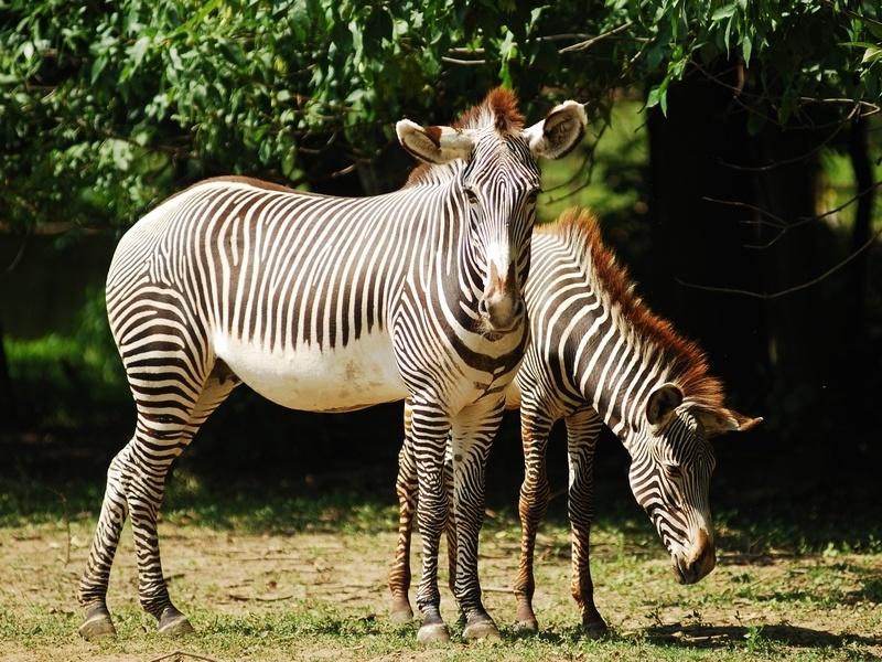 Oztrava Zoo breeds endangered Grévy's Zebra - Czech Points