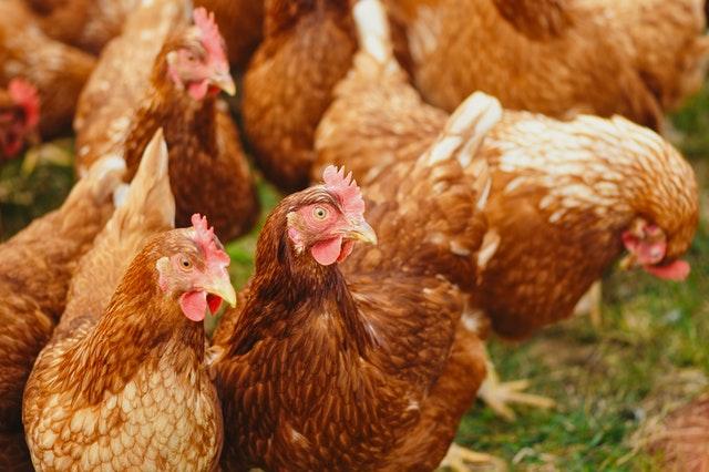 Czech Republic reports H5N8 bird flu outbreak at poultry farm - Czech Points