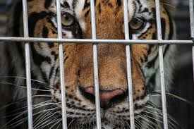 Illegal tiger farms busted in Bohemia - Czech Points